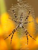 Aurantia d'Argiope (femelle) Image stock