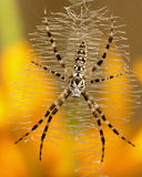 Aurantia do Argiope Fotografia de Stock Royalty Free