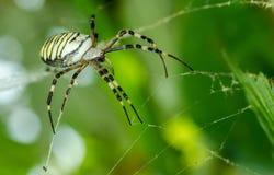 Aurantia för Argiope för gemensam havre för svart och för guling fet eller för trädgårds- spindel på hans rengöringsduk som vänta royaltyfri foto