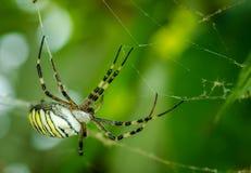 Aurantia gordo preto e amarelo comum do Argiope do milho ou da aranha de jardim em sua Web que espera seu fim da rapina acima do  fotos de stock