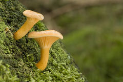 Aurantiaca de Hygrophoropsis Foto de archivo libre de regalías