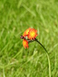 Aurantiaca del Hieracium del fiore d'arancio Immagine Stock