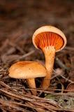 Aurantiaca di Hygrophoropsis Fotografia Stock