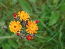 Aurantiaca Pilosella стоковые фото