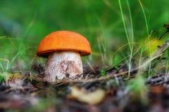 Aurantiacum лекцинума гриба Стоковые Фотографии RF