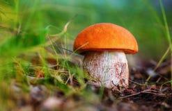 Aurantiacum лекцинума гриба Стоковое фото RF
