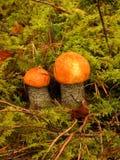 Aurantiacum de Leccinum Photographie stock libre de droits