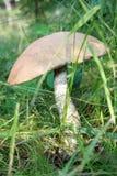 Aurantiacum del Leccinum fotografie stock libere da diritti