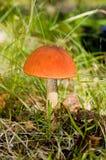 aurantiacum nakrywająca leccinum pieczarki czerwień Obraz Stock
