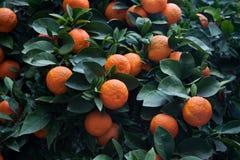 Aurantium εσπεριδοειδών δέντρων πικρών πορτοκαλιών Στοκ Εικόνες