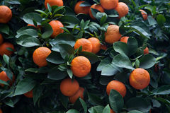 Aurantium amargo do citrino da árvore alaranjada foto de stock