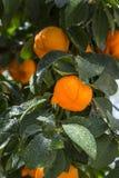 Aurantium citrusfrukter Royaltyfria Foton
