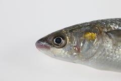 aurata金黄灰色莉莎梭鱼 库存图片