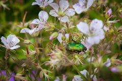 Aurata Cetonia ή πράσινος Chafer κάνθαρος σε έναν τομέα λουλουδιών λουλουδιών Στοκ φωτογραφίες με δικαίωμα ελεύθερης χρήσης
