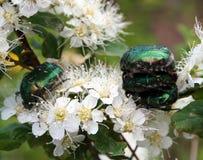 Aurata de cetonia de scarabées Photographie stock libre de droits