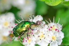 Aurata de cetonia de scarabée se reposant sur l'aubépine de fleurs photos libres de droits