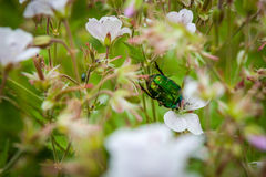 Aurata del Cetonia o escarabajo verde del abejorro en un campo de flor de las flores Imagenes de archivo