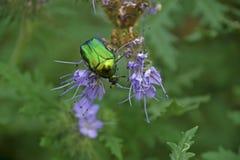 Aurata för Cetonia för gräsplanroschafer Royaltyfri Bild