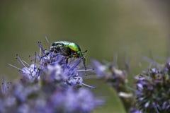 Aurata för Cetonia för gräsplanroschafer Arkivbild