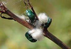 Aurata för Cetonia för gräsplanroschafers på en stjälk av den torra växten Royaltyfria Foton
