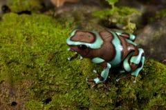auratus箭dendrobates青蛙毒物 免版税库存图片