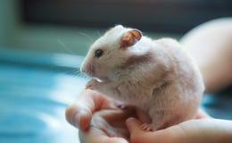 Auratus brun clair mignon de Mesocricetus de hamster syrien ou d'or mangeant de l'aliment pour animaux familiers Faire attention, image stock