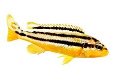 Auratus cichlid Melanochromis auratus ψάρια ενυδρείων mbuna που απομονώνονται χρυσά Στοκ Φωτογραφίες