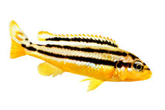 Auratus cichlid Melanochromis auratus golden mbuna aquarium fish isolated Stock Photos