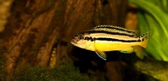 Auratus cichlid Melanochromis auratus mbuna akwarium złota ryba Fotografia Royalty Free