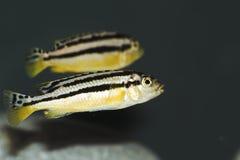 auratus melanochromis 库存照片