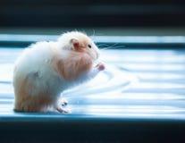 Auratus orange et blanc mignon de Mesocricetus de hamster syrien ou d'or mangeant de l'aliment pour animaux familiers Faire atten Images libres de droits