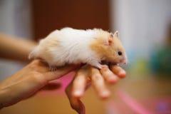 Auratus orange et blanc mignon de Mesocricetus de hamster syrien ou d'or s'élevant sur la main du ` s de fille Faire attention, c Photo libre de droits