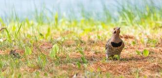 Auratus provisto amarillo del Colaptes del parpadeo, en las comidas de tierra de la caza Fotografía de archivo libre de regalías
