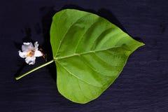 Aurea золото--Catalpa, Catalpa, лист и цветение Стоковое Изображение RF