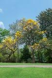 Aurea de Tabebuia no parque imagem de stock royalty free