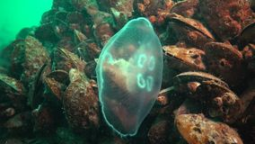 Aurelia aurita also called the moon jelly, moon jellyfish, common jellyfish. Or saucer jelly is a widely studied species of the genus Aurelia stock footage