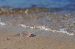 Aurelia aurita common jellyfish, moon jellyfish, moon jelly, saucer jelly lying on the beach stock image