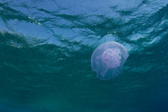 Aurelia jellyfish. Underneath the surface in the Red Sea stock images