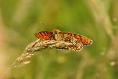 Aurelia Melitaea бабочки, рябчик ` s Nickerl Стоковые Изображения