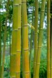 Aureocaulis aureosulcata Phyllostachys бамбуковые Стоковое Изображение