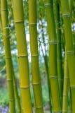 Aureocaulis aureosulcata Phyllostachys бамбуковые Стоковое Фото