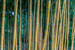 Aureocaulis aureosulcata Phyllostachys бамбуковые Стоковые Изображения RF