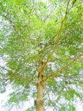 Aureola del ivorensis del verde de rey Terminalia Fresh como imagen de fondo Foto de archivo libre de regalías