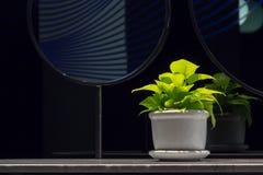 Aureum dourado do pothosEpipremnum em um potenciômetro da porcelana no contador do banheiro ao lado do espelho com espaço da cópi fotos de stock