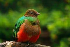 auriceps dalla testa dorata di Pharomachrus, del quetzal, uccello verde e rosso sacro magnifico Quetzal del ritratto del dettagli fotografia stock