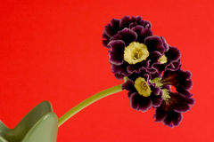 The auricula and the aphid Stock Photo