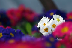 Auricula of different colours. In flowerpot stock images