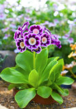 Auricula purple primula flower close-up. Stock Images