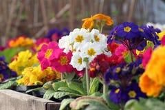Auricula van verschillende kleuren Stock Foto's