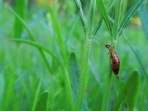 Auricularia Forficula) Στοκ εικόνες με δικαίωμα ελεύθερης χρήσης